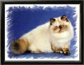10th Best Himalayan Kitten