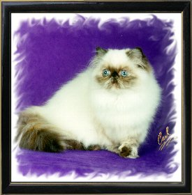 16th Best Himalayan Kitten