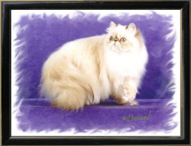 17th Best Himalayan Kitten