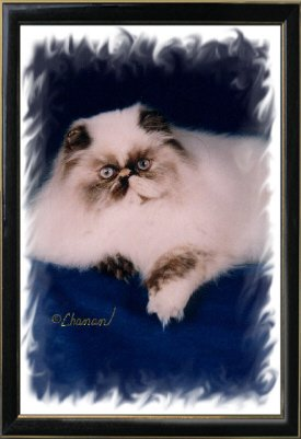 2nd Best Himalayan Kitten