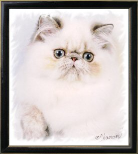 24th Best Himalayan Kitten