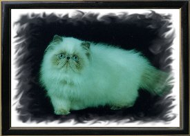 4th Best Himalayan Kitten