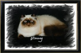 7th Best Himalayan Kitten