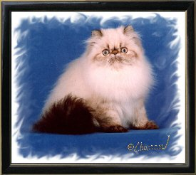 9th Best Himalayan Kitten