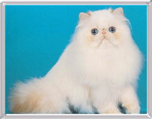 Best Himalayan Kitten