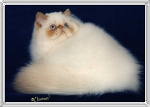 12th Best Himalayan Kitten