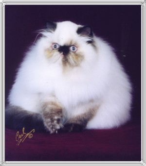 13th Best Himalayan Kitten