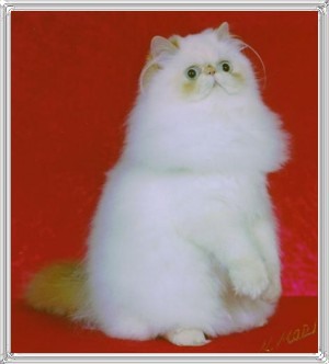14th Best Himalayan Kitten