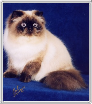 15th Best Himalayan Kitten