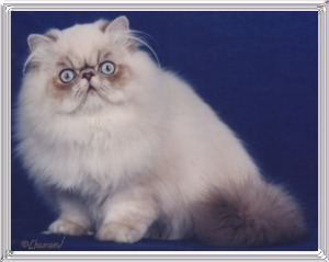 19th Best Himalayan Kitten