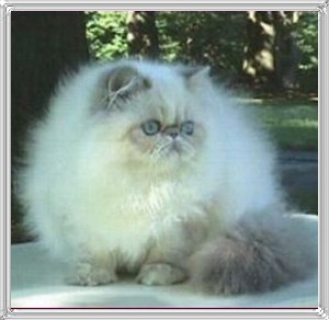 20th Best Himalayan Kitten
