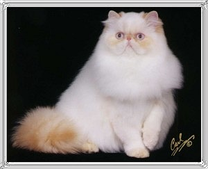 22nd Best Himalayan Kitten
