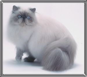 5th Best Himalayan Kitten