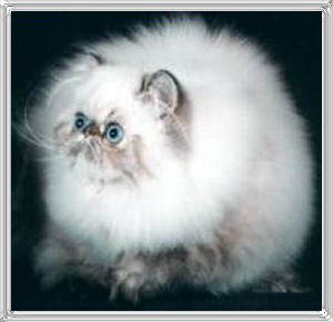 6th Best Himalayan Kitten