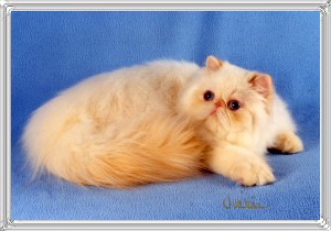 8th Best Himalayan Kitten